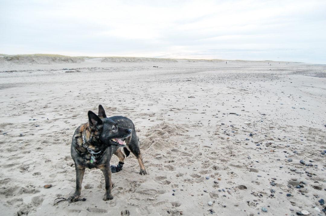 Hund am Strand in Dänemark
